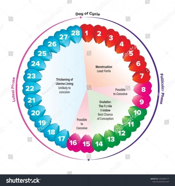 Circular Flow Chart Period On Menstruation Stock Vector