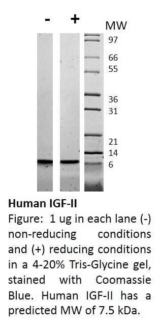 Human Igf-Ii