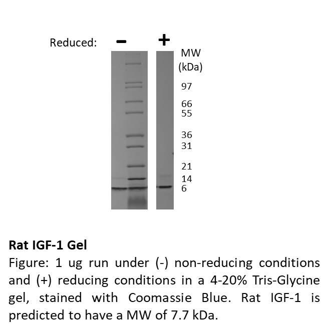 Rat Igf-I